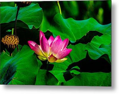 Lotus Blossom Metal Print by Louis Dallara