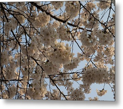Low Angle View Of Cherry Blossom Metal Print