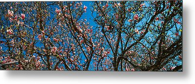 Low Angle View Of Cherry Trees Metal Print by Panoramic Images