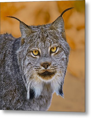 Metal Print featuring the photograph Lynx by Steve Zimic