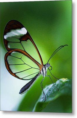 Macro Photograph Of A Glasswinged Butterfly Metal Print
