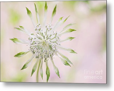 Magical Masterwort Metal Print by Jacky Parker