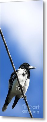 Magpie Up High Metal Print