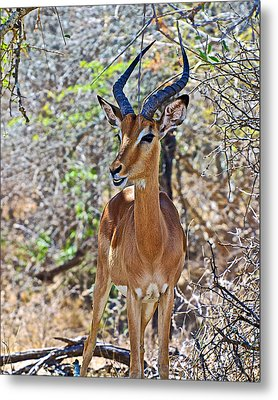 Male Impala In Kruger National Park-south Africa   Metal Print by Ruth Hager
