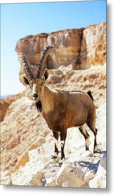 Male Nubian Ibex Metal Print by Photostock-israel