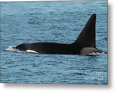 Metal Print featuring the photograph Male Orca Killer Whale In Monterey Bay California 2013 by California Views Mr Pat Hathaway Archives