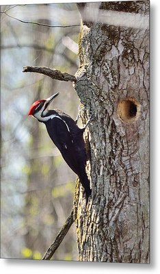 Metal Print featuring the photograph Male Pileated Woodpecker by David Porteus