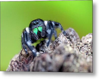 Male Regal Jumping Spider Metal Print by Alex Hyde
