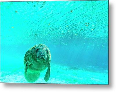 Manatee Swimming In Clear Water Metal Print