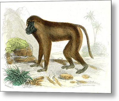 Mandrill Metal Print by Collection Abecasis