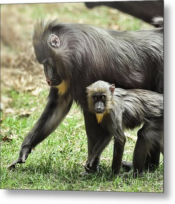Mandrill Metal Print by HD Connelly