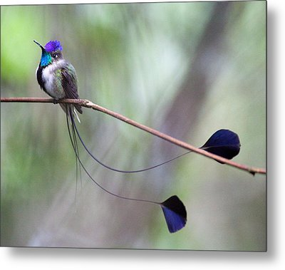 Marvelous Spatuletail Metal Print by Max Waugh