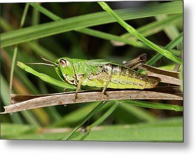 Meadow Grasshopper Metal Print