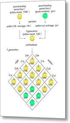 Mendelian Genetics Metal Print by Science Photo Library