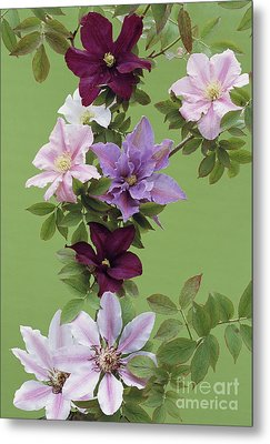 Mixed Clematis Flowers Metal Print by Archie Young