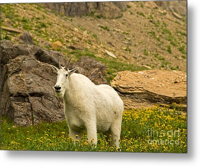 Mountain Goat In Glacier National Park Metal Print by Natural Focal Point Photography
