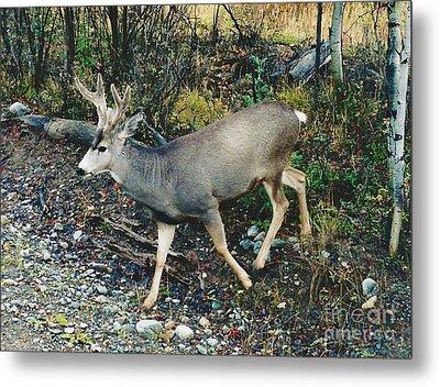 Mule Deer Metal Print by D Hackett