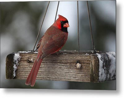Northern Cardinal Metal Print by John Kunze
