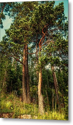 Northern Forest  Metal Print by Jenny Rainbow