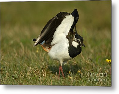 Northern Lapwing Metal Print by Helmut Pieper