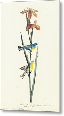 Northern Parula  Metal Print by Celestial Images