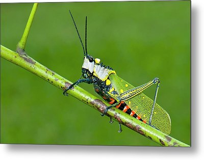 Northern Spotted Grasshopper Metal Print