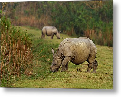 One-horned Rhinoceros Feeding Metal Print
