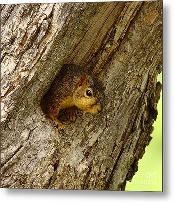 One Too Many Acorns Metal Print by Robert Frederick