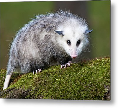 Opossum  Metal Print by Paul Cannon