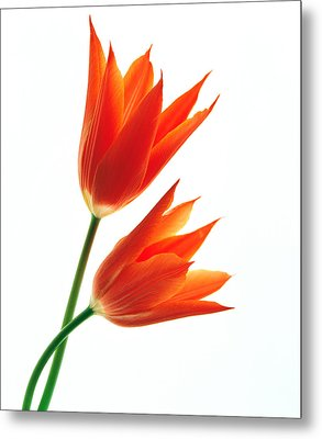 Orange Flowers Against White Background Metal Print by Panoramic Images