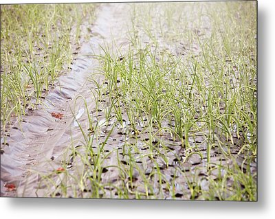 Organic Onion Crop Metal Print by Ashley Cooper