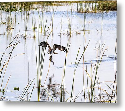 Osprey Caught A Fish  Metal Print by Zina Stromberg
