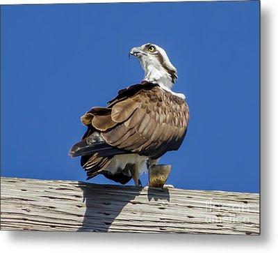 Metal Print featuring the photograph Osprey With Fish In Talons by Dale Powell