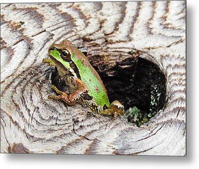 Pacific Chorus Frog Metal Print