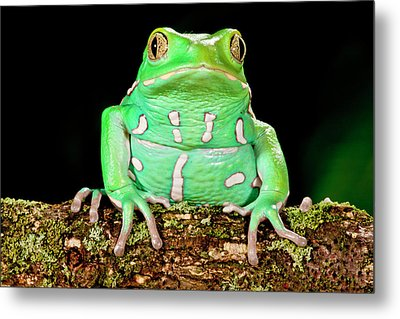 Painted Monkey Frog, Phyllomedusa Metal Print