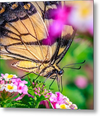Metal Print featuring the photograph Papilio Glaucus by Rob Sellers