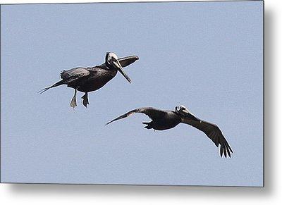 Pelicans In Flight 2 Metal Print by Cathy Lindsey