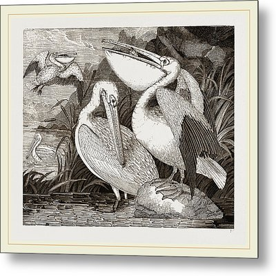 Pelicans Metal Print by Litz Collection
