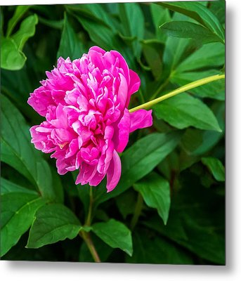 Peony Metal Print by Steve Harrington