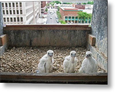 Peregrine Falcon Chick Metal Print by Jim West