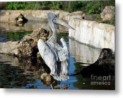 Pink Backed Pelican Metal Print