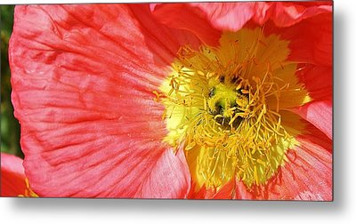 Pink Poppy Close Up Metal Print by Bruce Bley