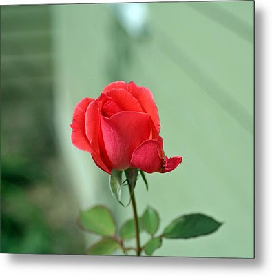 Pink Rose Metal Print by Larry Stolle