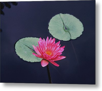 Pink Water Lily Two Pads Metal Print by Tom Wurl