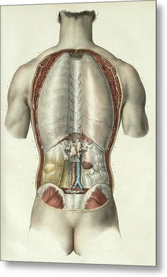Pleura And Peritoneum Metal Print by Science Photo Library
