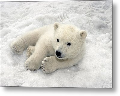 Polar Bear Cub Playing In Snow Alaska Metal Print by Mark Newman