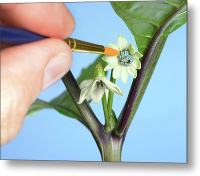 Pollination Of Carolina Reaper Chilli Metal Print
