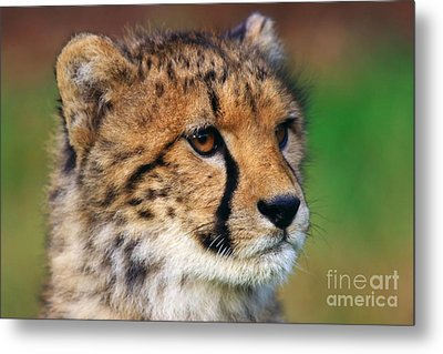 Metal Print featuring the photograph Portrait Of A Cheetah Cub by Nick  Biemans