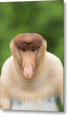 Proboscis Monkey Dominant Male Sabah Metal Print by Suzi Eszterhas