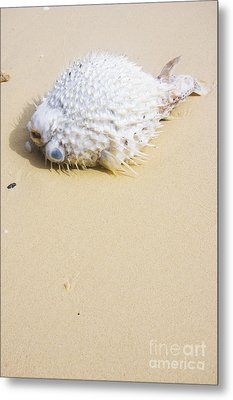Puffed Out Puffer Fish Metal Print by Jorgo Photography - Wall Art Gallery